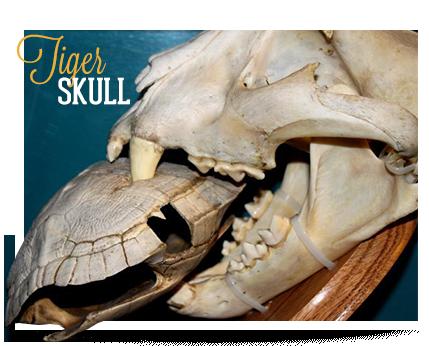 Ocean City Ripley's Believe It or Not Tiger Skull