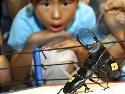 Rhino beetle fight