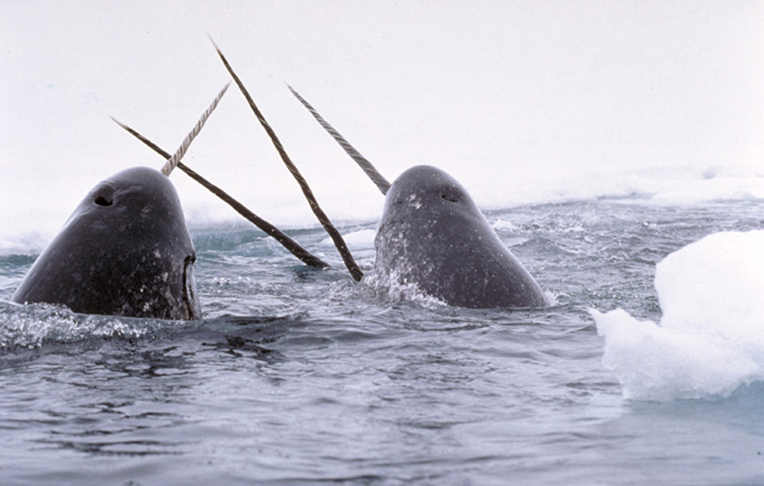 Narwhals in the wild