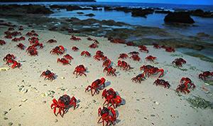 christmas island crabs edible