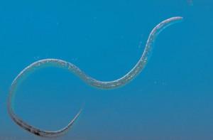 vinegar eels