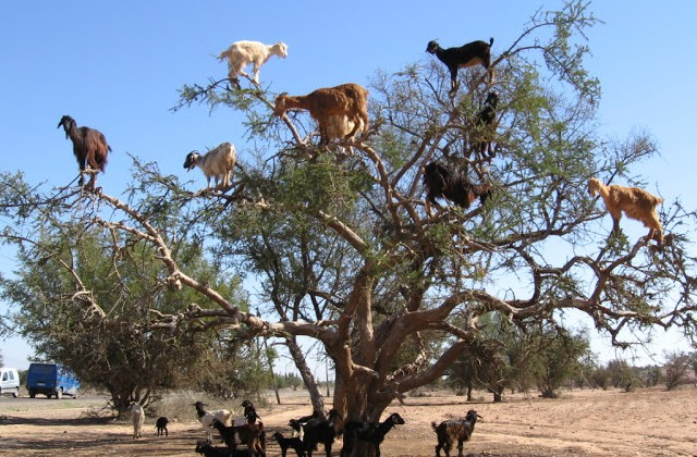 Exactly how many goats can you fit on one tree?