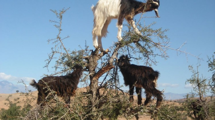 The goats climb the Argan trees of Morocco looking for food.