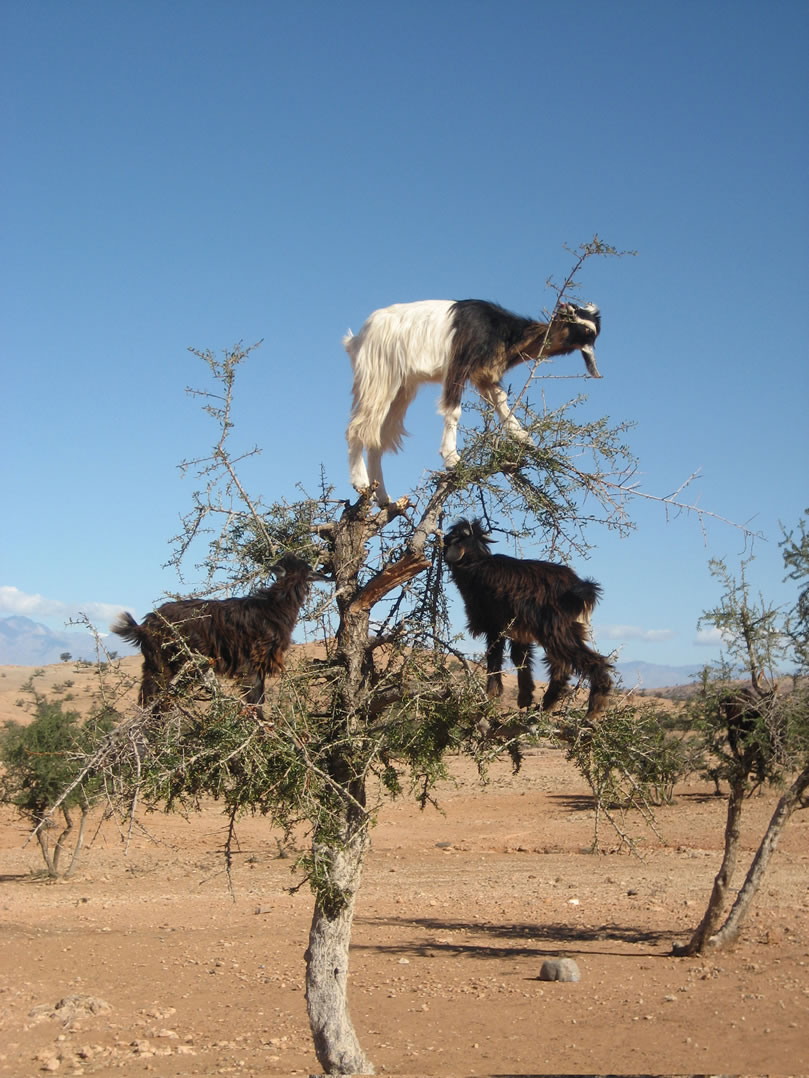 Goats in a Tree - Ripley's Believe It or Not!  Goats in a Tree...