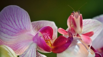 The Malaysian Orchid Mantis