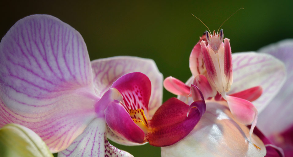 The Malaysian Orchid Mantis Believe It Or Not