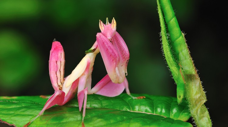 orchid-mantis1