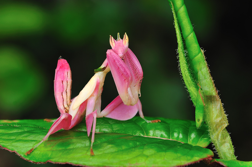 Witch Faction Discussion Orchid-mantis1