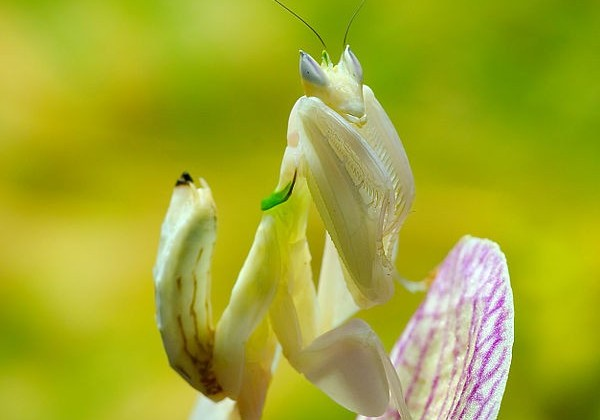 orchid-mantis3