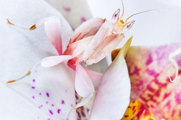 orchid-mantis4