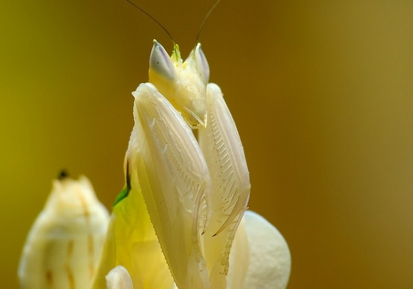 orchid-mantis5