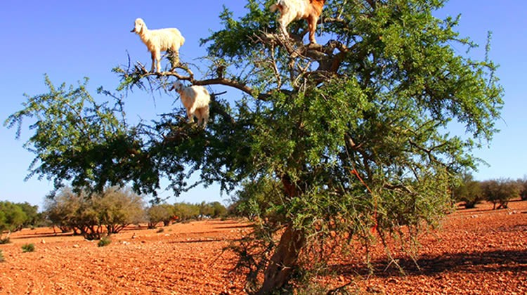 The agility with which these goats traipse the trees is unbelievable.