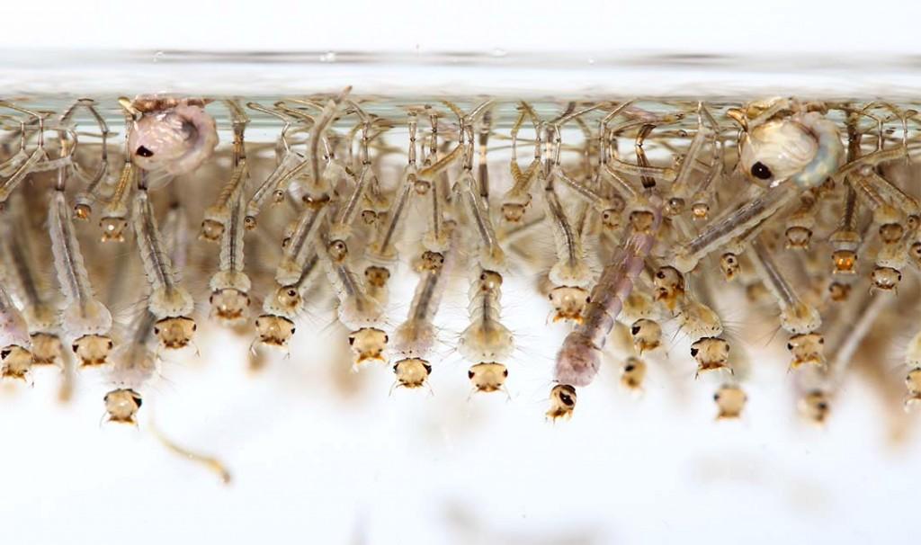 mosquito-header
