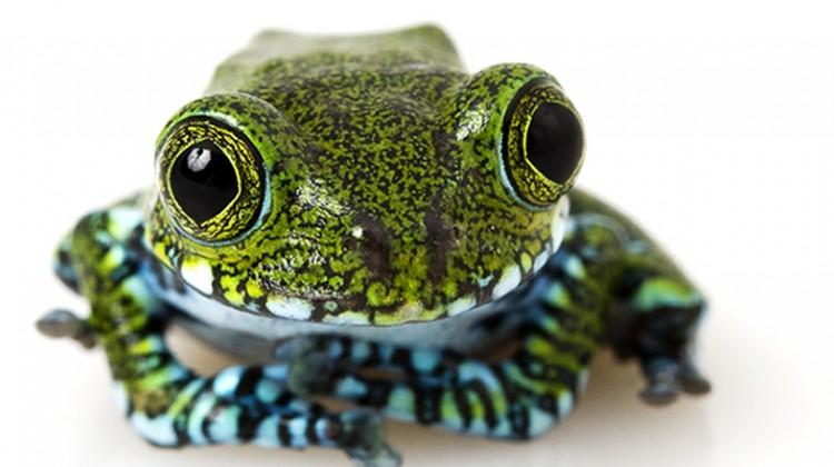 Big eyed tree frog