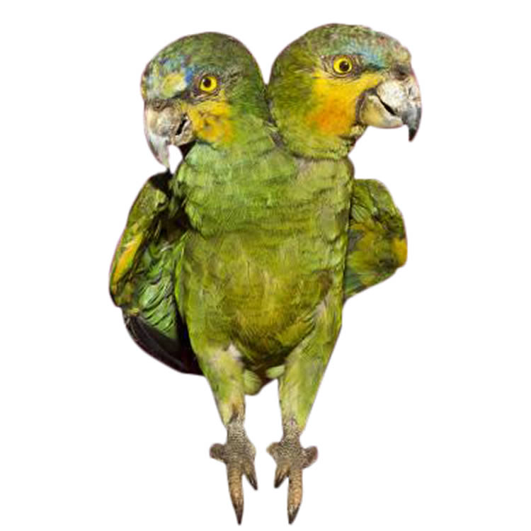 Two-headed parakeet