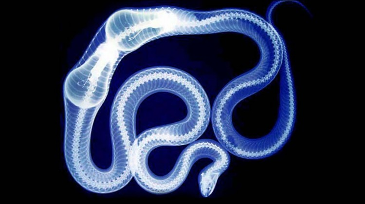 X-ray of snake swallowing lightbulbs