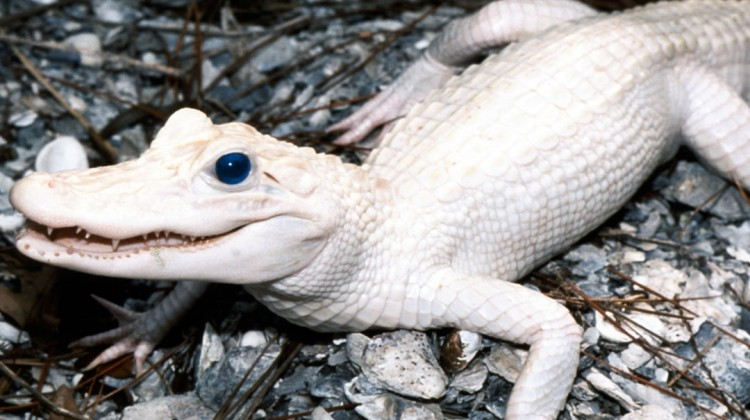 Albino blue eyed alligator