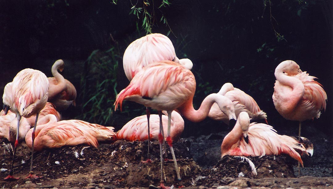 Cluster_of_Chilean_Flamingos_(Phoenicopterus_chilensis)