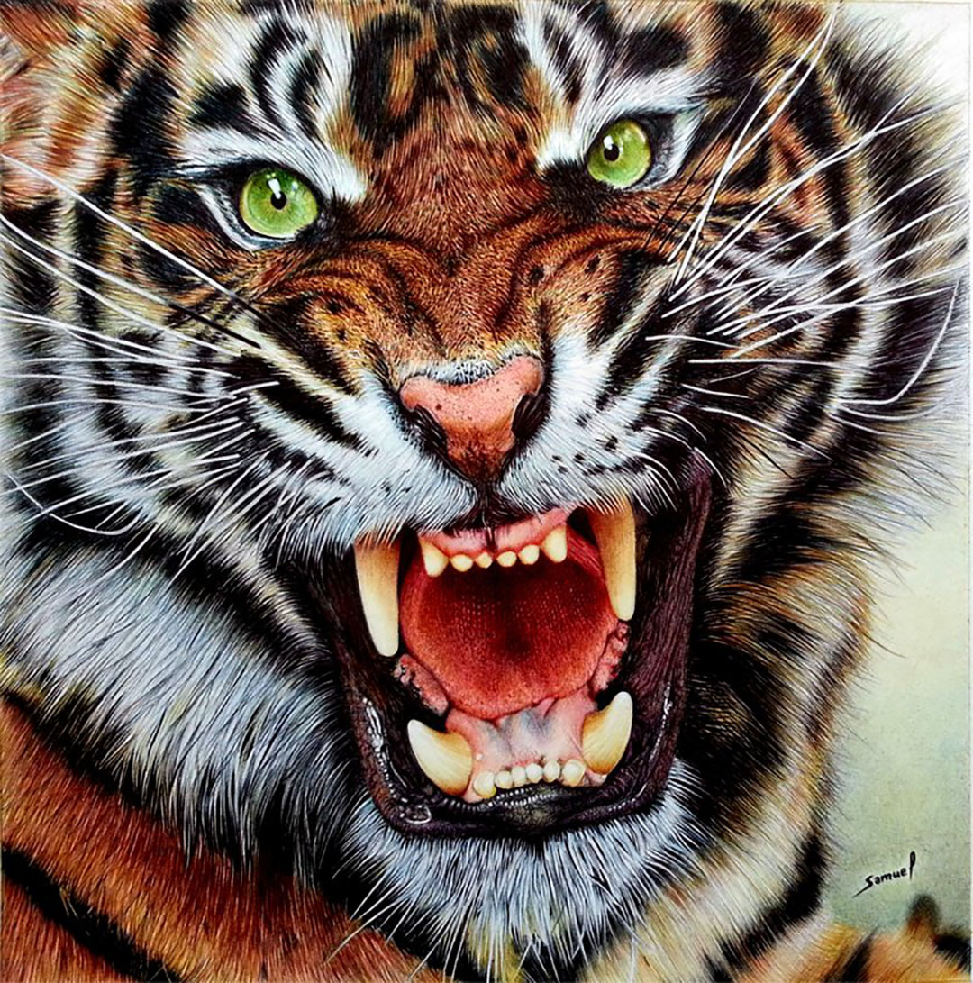 tiger roars Nice a lion's roar can be heard a good 4 to 5 miles away, while a tiger's at about 2.