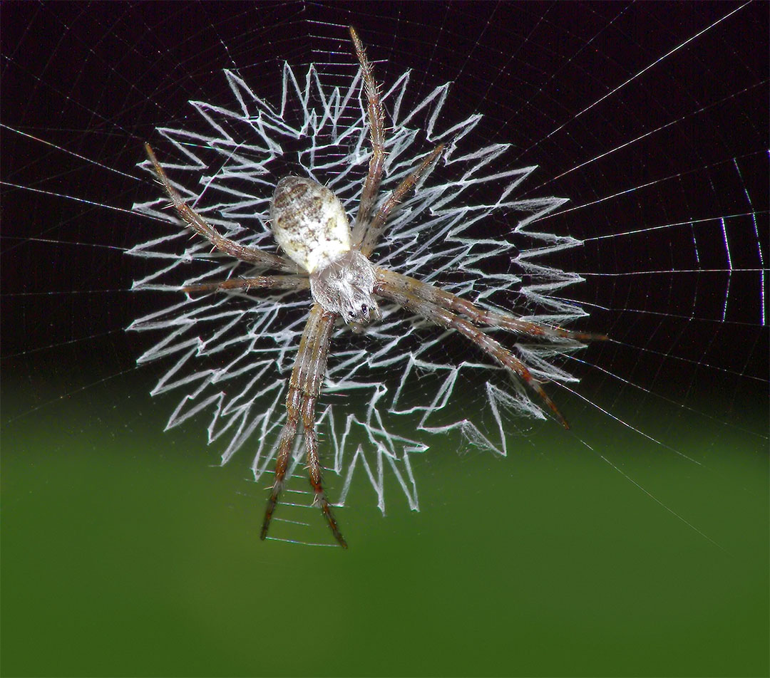 Orb spider spins a geometric web