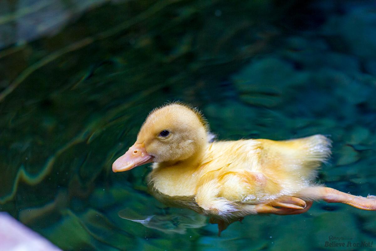 Donald The 4 Legged Duck