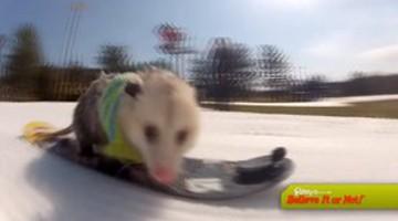 Snowbaording Opossum