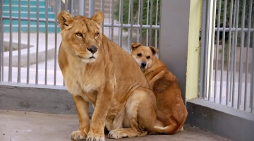 Dog Hiding Behind Lion