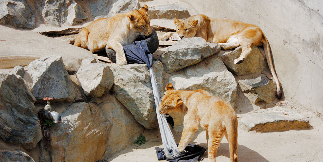 Zoo Jeans Denim Being Prepared Literally by Lions