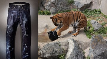 jeans ripped by tiger