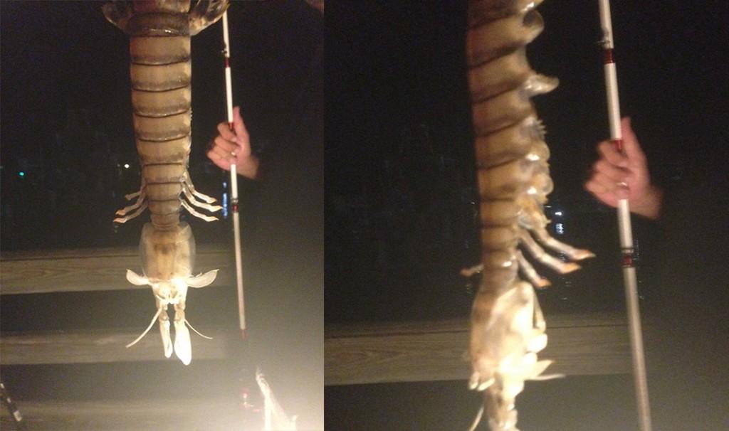 18 inch Shrimp Enigma