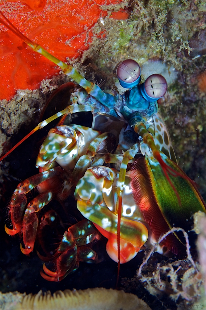 Zebra mantis shrimp eyes - photo#13
