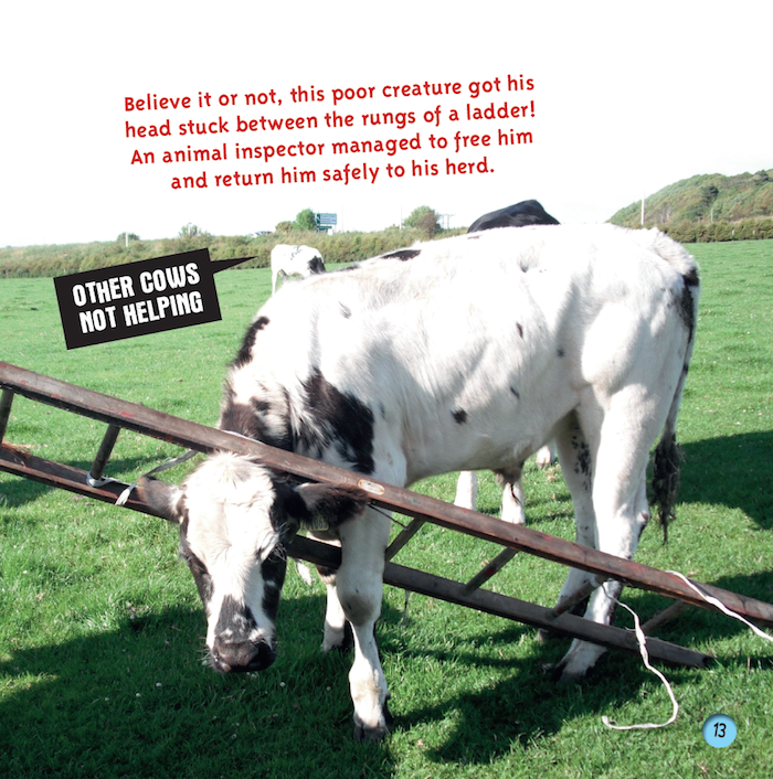 cow stuck in ladder