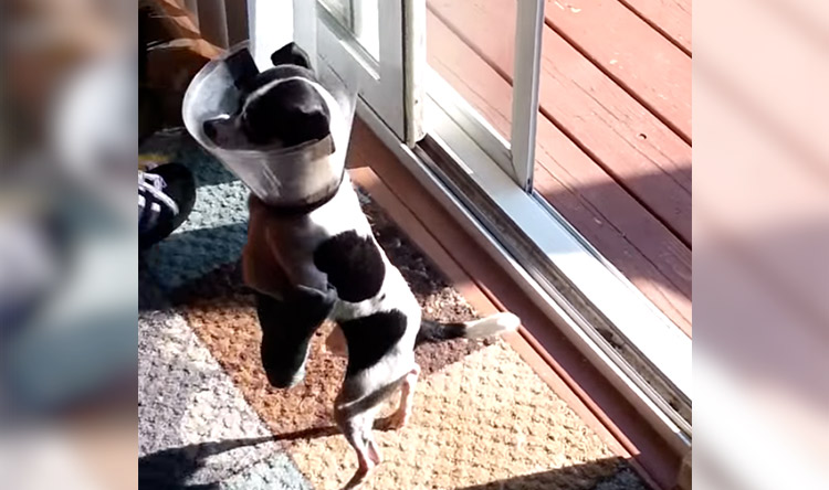 Dog with Casts Learns to Walk on Two Legs