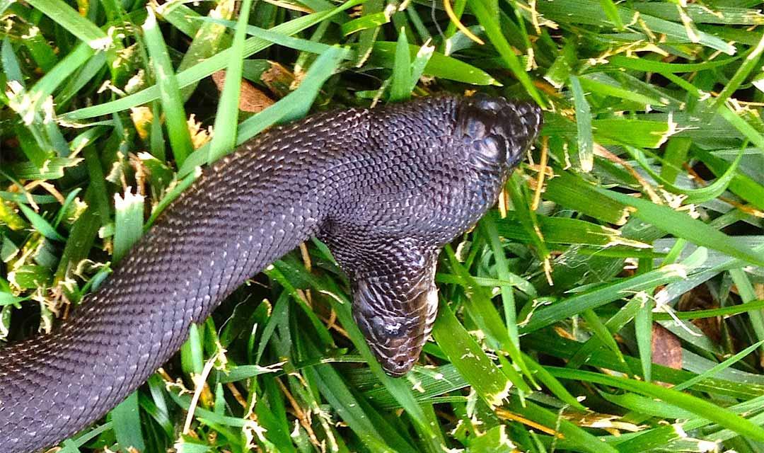 Black-Pine-2-Headed-Snake-RipleysBIONOnline