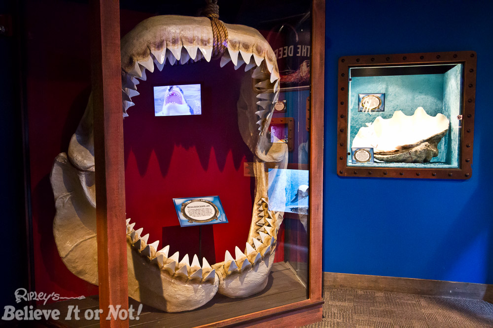 Megalodon jaws could eat half your car in one bite!