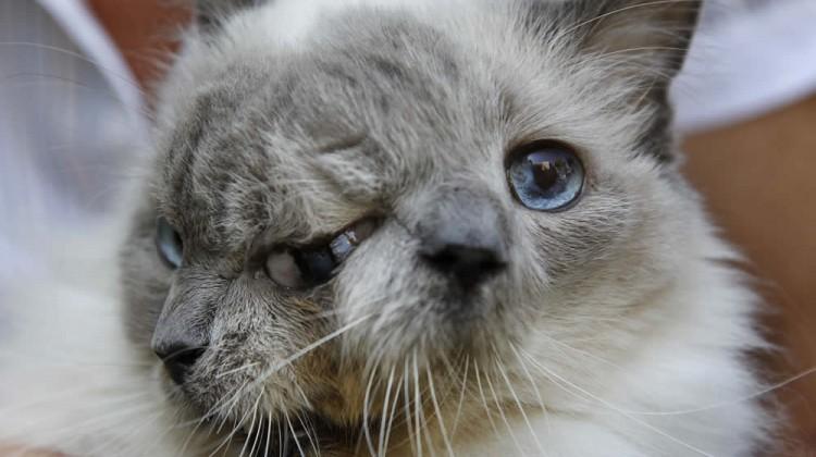 Two-Faced Cat Frank & Louie AP Photo/Steven Senne