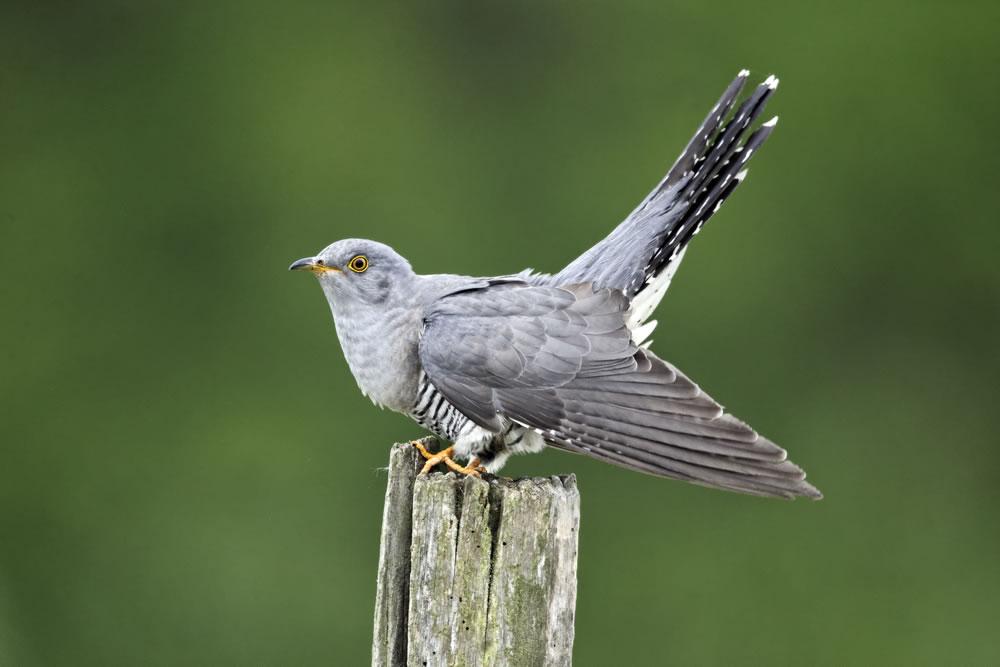 Cuckoo Easter Bird