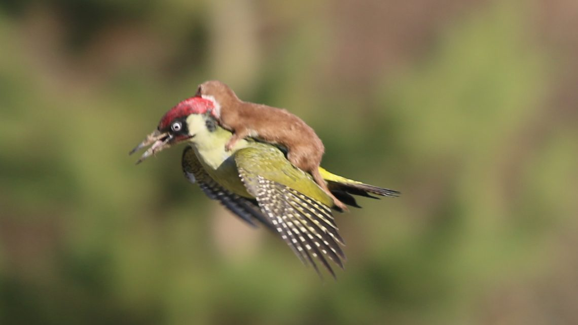 weasel riding woodpecker