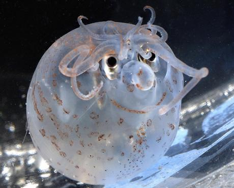 12 Surprising Animal Mashups - PIGLET SQUID