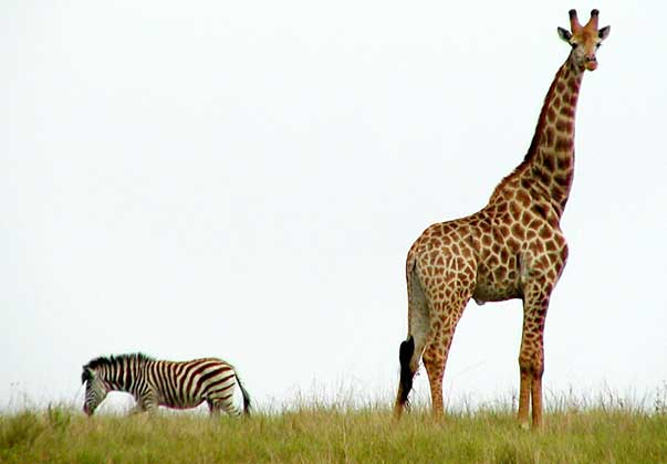 zebras and giraffes - photo #29