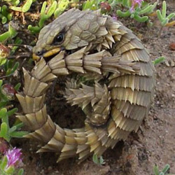 12 Surprising Animal Mashups - ARMADILLO LIZARD
