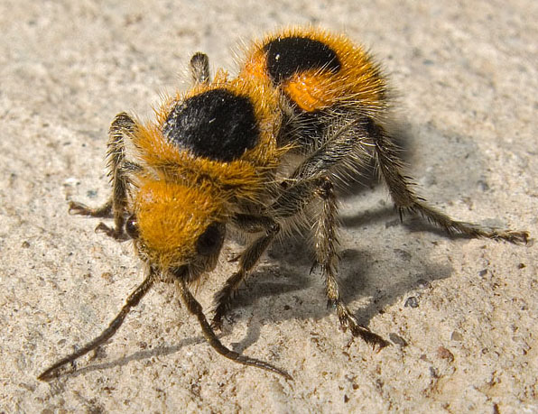 12 Surprising Animal Mashups - VELVET ANT