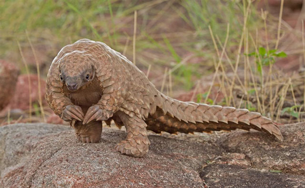 12 Surprising Animal Mashups - PANGOLIN