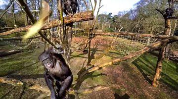 chimpanzee bats down drone