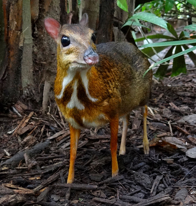 12 Surprising Animal Mashups - CHEVROTAIN