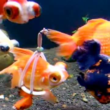 Goldfish-Floating-Wheelchair