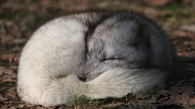 Arctic Blue Fox by Rama