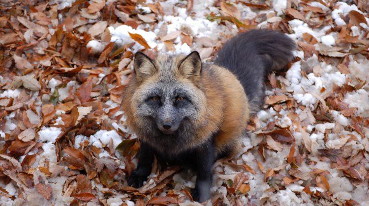 Cross Fox by name1857