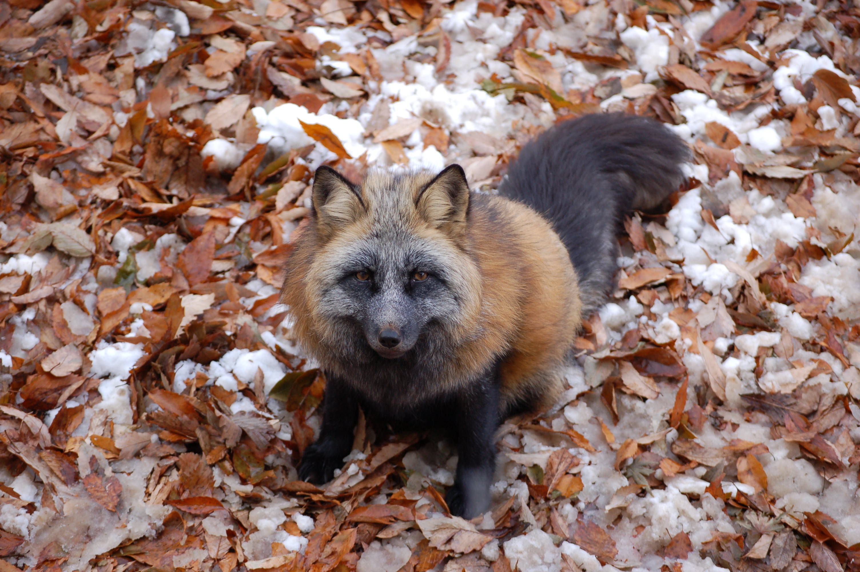 This Fox Village Has Swarms Of Foxes You Can Pet! (VIDEO