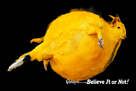 Inflated Yellow Goat